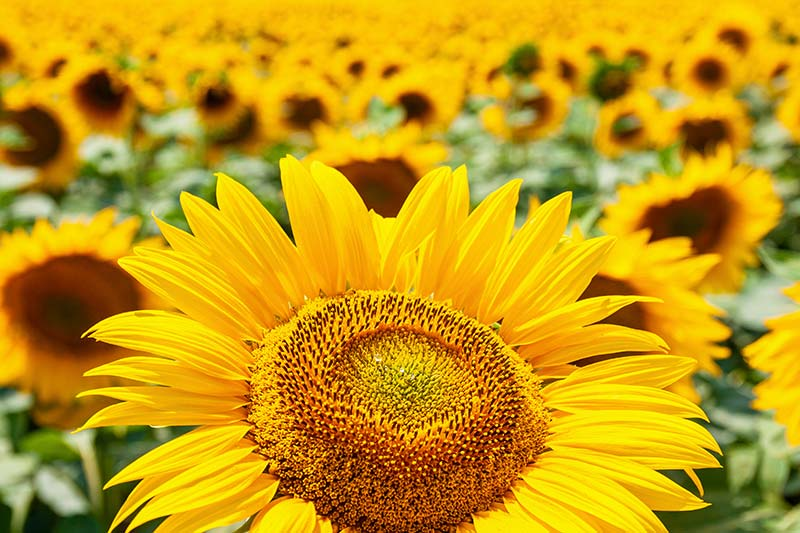 Соняшникове поле на фермерському господарстві фото